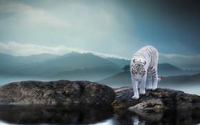 Wallpaper nature, tiger, stones, animal, predator, pond, Thai Phung