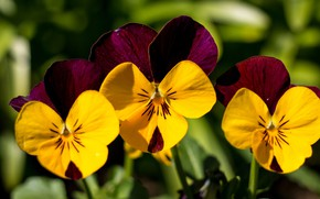 Picture macro, trio, Pansy, Violet Pansy