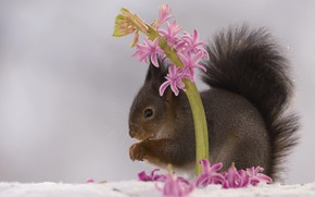 Picture flower, snow, nature, animal, spring, protein, animal, rodent, hyacinth