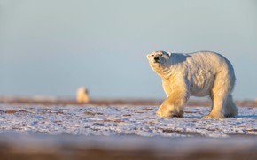 Picture winter, white, the sky, look, snow, nature, pose, background, bear, bears, bear, walk, polar bear, …