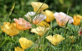 Picture summer, California poppy, Escholzia