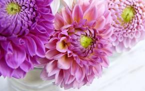 Picture flowers, pink, dahlias, flower garden