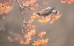 Picture autumn, branches, berries, background, tree, bird, yellow, fruit, on the branch, Rowan, the Waxwing