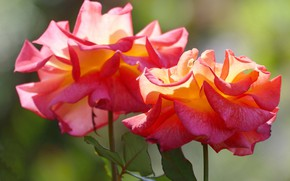 Picture light, background, bright, roses, buds, two flowers, orange-red