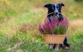Picture summer, look, flowers, dog, sitting, basket