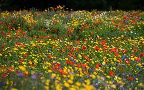 Picture summer, flowers, Maki, yellow, meadow, red, field, blue, different, cornflowers