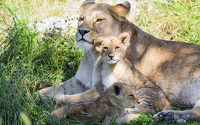Picture kids, the cubs, lioness, mom