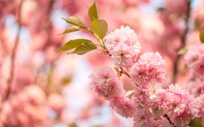 Picture flowers, nature, cherry, spring, Sakura, pink