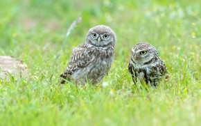 Picture grass, birds, owl, bird, glade, two, pair, owls, a couple, Duo, two, owl, owls, two …