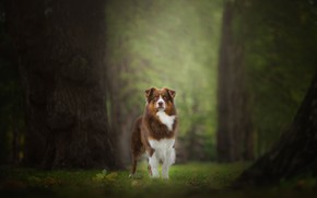 Picture forest, grass, look, leaves, trees, nature, Park, background, trunks, dog, red, walk, oaks, oak forest
