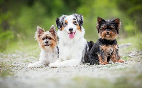 Picture dogs, summer, grass, trio, friends
