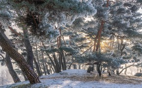 Picture winter, frost, the sun, trees, landscape, nature, Park, morning, pine, South Korea