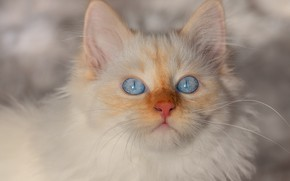 Picture winter, cat, white, look, snow, kitty, background, portrait, fluffy, kitty, face, blue-eyed, color-point, Neva masquerade, …
