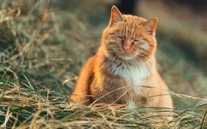 Picture cat, grass, cat, red, closed eyes