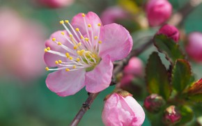 Picture flower, macro, branch, buds, flowering, Almonds