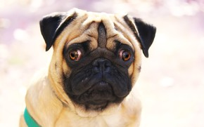 Picture face, background, each, pug