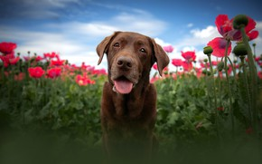 Picture language, the sky, face, clouds, flowers, blue, background, Maki, portrait, dog, blur, view, brown, poppy …