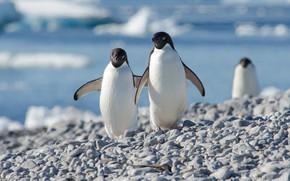 Picture birds, pebbles, shore, penguins, friendship, pair, a couple, Duo