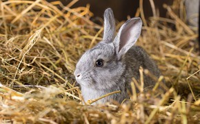 Picture grey, rabbit, muzzle, hay, ears, bokeh