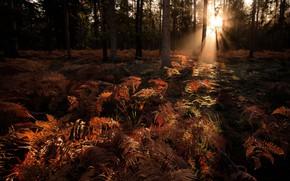 Picture autumn, forest, light, ferns