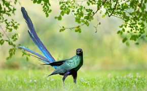 Picture greens, grass, branches, background, bird, feathers, tail, Brilliant long-tailed Starling