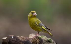 Picture bird, snag, bird, zelenushka