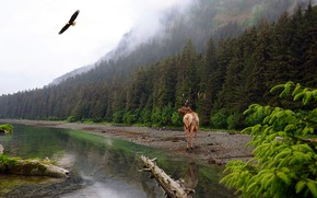 Picture forest, the sky, water, flight, mountains, branches, nature, fog, lake, reflection, bird, eagle, shore, deer, …