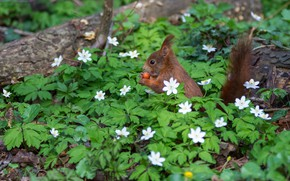 Picture flowers, nature, pose, glade, walnut, protein, rodent