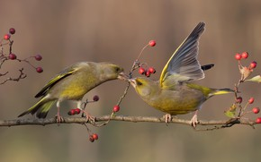 Picture birds, pose, berries, background, bird, two, branch, fruit, pair, zelenushka, greenfinches