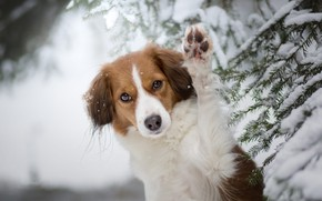 Picture winter, forest, look, face, snow, branches, nature, pose, paw, portrait, spruce, dog, red, needles, light …