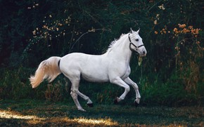 Picture white, branches, nature, pose, the dark background, horse, horse, white, the bushes, gallop, horse