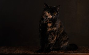 Picture cat, look, pose, the dark background, muzzle, sitting, Studio, spotted, motley