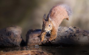 Picture water, nature, animal, jump, protein, wood, rodent, Roberto Aldrovandi