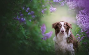 Picture look, leaves, flowers, green, background, thickets, portrait, dog, spring, flowering, the bushes, lilac, the border …