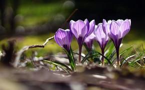 Picture light, flowers, glade, spring, purple, crocuses