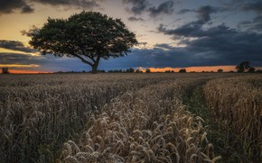 Picture wheat, field, landscape, nature, tree, beauty