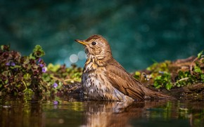Picture water, nature, bird, vegetation, bathing, bokeh, Tamas Hauk, Mavis