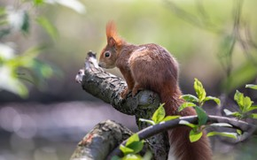 Picture nature, branch, protein, rodent