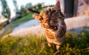Picture cat, grass, cat, face, light, nature, grey, background, street, yard, mouth, fangs, walk, Sunny, striped, …