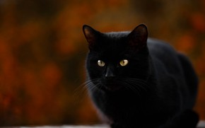 Picture sitting, blurred background, black cat