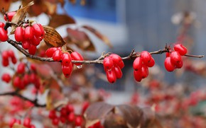 Picture autumn, branches, berries, fruit, red, bokeh, dogwood