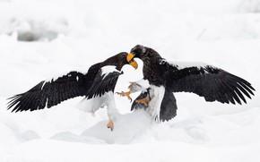 Picture winter, snow, birds, eagle, predators, battle, eagle, battle, the eagles, two, clash, rivals