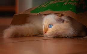 Picture cat, white, look, kitty, background, the game, fluffy, package, floor, hide and seek, kitty, blue-eyed, …
