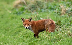 Picture greens, grass, nature, Fox, red, Fox, bokeh