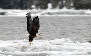 Picture nature, river, bird, ice, predator, Canada, eagle, bokeh, bald eagle, Quebec, Bald Eagle, Jacques-Cartier Beach, …