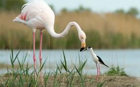 Picture birds, friends, Flamingo, Black-winged stilt