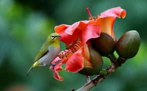 Picture nature, branch, Bud, bird, flowers, white-eyed, white eye, cotton tree