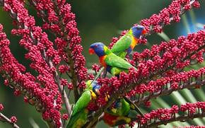 Picture birds, parrot, multicolor lorikeet, schefflera localista