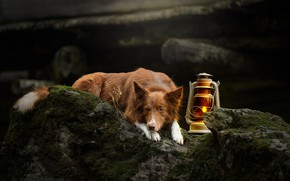 Picture stones, lamp, moss, dog, lantern, The border collie, Svetlana Pisareva