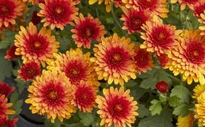 Picture flowers, chrysanthemum, flowers